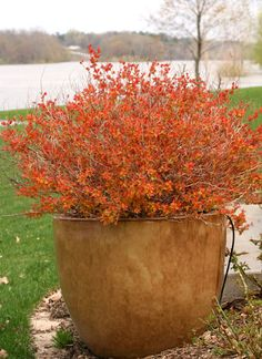 Double Take Big Bang Spirea - click on the photo to learn more.