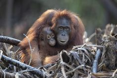 Mother and baby orangutans in Tanjung Puting National Park, Kalimantan, Indonesia. Baby Orangutan, Orangutans, Mother And Child, National Parks, Children, Art, Mother Son, Young Children, Art Background