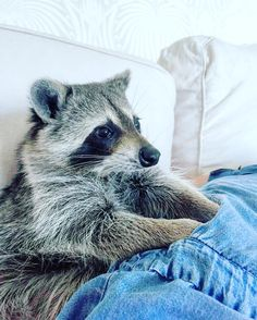 What are you hiding in these pockets Momma? #pumpkintheraccoon #raccoon #weeklyfluff #instagood #instagram #instagood #love #pet #photooftheday #pumpkintheraccoon
