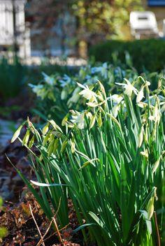 Almbacken: Narcissus 'Thalia'