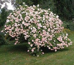 Cultivo de hortensias 4