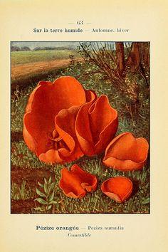 n140_w1150 by BioDivLibrary on Flickr.  Nouvel atlas de poche des champignons comestibles et vénéneux..Paris,Léon Lhome,1911-1912..biodiversitylibrary.org/page/2979251
