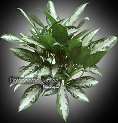 Chinese Evergreen houseplants make great office plants easy care