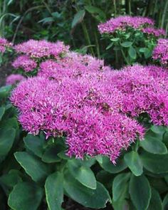 Sedum spectabile Neon-Upright Stonecrop.  Sedum Neon has extra large showy flowers heads in vibrant pink that open in mid-summer and stay through fall. Dense flower clusters top succulent upright foliage of lighter green and are a huge favorite of butterflies. Leave dried flower heads on to provide nice winter interest.