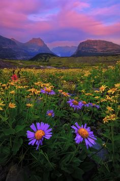 I was walking along the Hidden Lake trail of the Logan Pass and saw these little daisies right at the good time for sunset. Together with the pinkish sky, their colors all went along with each other.