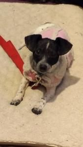 HOPPER...PITTSBURGH, PA...Meet Hopper a Petfinder adoptable Chihuahua Dog | Pittsburgh, PA | 5/2014Taking applications for FOSTER and FUREVER homes today.Please email us at: ...