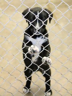 TOO YOUNG TO BE AT A KILL SHELTER!  6-8 WEEKS OLD! Lab mix male Kennel A8 **Available 3-6-2014** $35 to adopt Located at Odessa, Texas Animal Control FOSTERS OR ADOPTERS WELCOME! https://www.facebook.com/speakingupforthosewhocant/photos/a.573572332667009.1073741829.248355401855372/737440059613568/?type=1&theater