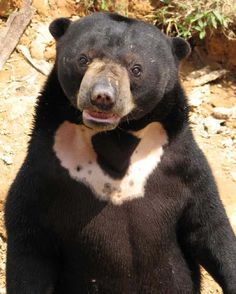 SUN BEARS or dog bears, Sun bears are so named because of the bib-shaped patch on their chests, which legend says represents the rising sun.