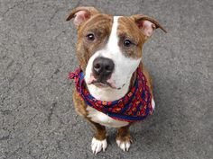 TO BE DESTROYED - SATURDAY - 7/26/14~ Manhattan Center  My name is REX. My Animal ID # is A1006764. I am a male br brindle and white pit bull mix. The shelter thinks I am about 3 YEARS old.  I came in the shelter as a SEIZED on 07/15/2014 from NY 10463, owner surrender reason stated was OWN ARREST. I came in with Group/Litter #K14-185989.