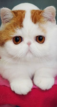 Snoopy cat, exotic shorthair.