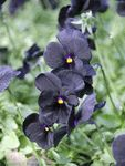 Viola 'Black Magic'Common Name: Violet-TuftedShip as: Perennial PlugTrue to its name, this variety has 1 inch wide, solid matte black flowers with a tiny, bright yellow eye. It is one of the darkest flowers in existence. 'Black Magic' is a clump-forming violet that is blanketed with flowers in mid-spring. If plants are cut back after the first bloom cycle, they will likely bloom again in the fall. Surprising due to its dark coloring, this variety has demonstrated good heat tolerance in the…