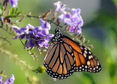 Alarm over fate of monarch butterfly.