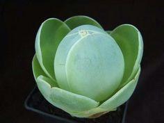 Aeonium Diplocyclum Succulent Plant