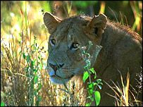 A pride of lions has rescued a girl from her kidnappers in rural south-west Ethiopia, according to police.  http://news.bbc.co.uk/2/hi/africa/4116778.stm