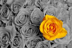 Single Yellow Rose Wallpaper for Wall Decor