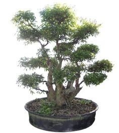 Buy Bonsai Trees - Large Crape Myrtle Bonsai Tree, Bonsai Tree, Crape Myrtle, Specimen Bonsai -The Bonsai Store Large Bonsai Tree, Buy Bonsai Tree, Bonsai Art, Potted Trees, Trees To Plant, Bonsai Plants Online, Mini Plantas, Lagerstroemia, Mame Bonsai