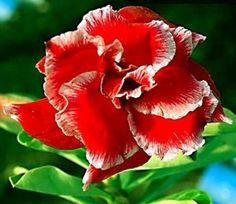 Desert Rose (Adenium Obesum) 'Double Santa'