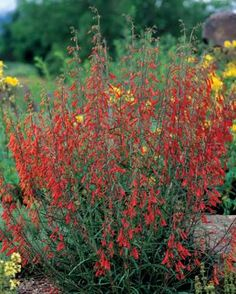 10 Perennials Easily Grown from Seed   Fine Gardening  Name:   Penstemon spp. and cvs.  Zones: 3 to 10  Size: 3 to 72 inches tall and 6 to 24 inches wide  Conditions: Full sun to partial shade; fertile, well-drained soil   Read more: http://www.finegardening.com/10-perennials-easily-grown-seed#ixzz3VdTD8Zr7  Follow us: @finegardening on Twitter   FineGardeningMagazine on Facebook