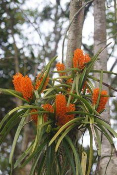 Plantas de comportamento geralmente  monopodial, ou seja, crescem no sentido vertical, sustentando duas  fileiras de folhas e vários r...