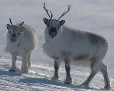 Deer-Rangifer-1