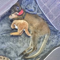 This little wallaby with his favorite toy. | 18 Adorable Animals Who Will Take Your Mind Off Of Things