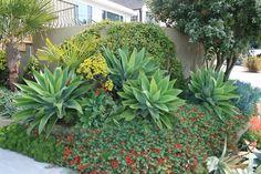 Agave attenuata and Lotus berthelotii | Flickr - Photo Sharing!