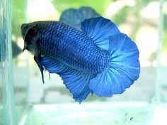 1000 images about betta fish names the many varieties for Rare types of betta fish