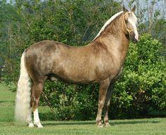 Paso Fino stallion, Bolero de Sierra Morena. photo: Cheri Prill.