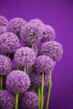 Purple Allium - a favorite bloom