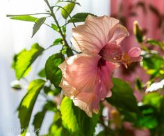 Если хибискус обещал... Plants, Plant, Planets