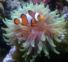 Clown fish doing what clownfish do Clownfish or anemonefish are fishes from the subfamily Amphiprioninae in the family Pomacentridae. Thirty species are recognized: one in the genus Premnas, while the remaining are in the genus Amphiprion. Wikipedia