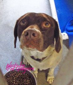 A4788058 I am a very friendly 1.5 yr old spayed female white/brown German Shorthaired Pointer mix. I came to the shelter as a stray on Dec 30. available 1/4/15 https://www.facebook.com/photo.php?fbid=899377146740790&set=a.705235432821630&type=3&theater
