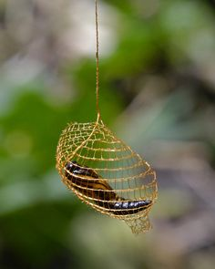 the moth Urodus parvula pupa, seen inside an open-mesh cocoon, via Flickr, Geoff Gallice