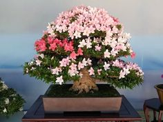 """The """"Satsuki Azalea festival"""" is held every year in late may, when the trees are in full bloom. Now I always loved Azaleas, but when they flower they are without doubt stunning. Flowering Bonsai Tree, Bonsai Plants, Bonsai Garden, Bonsai Trees, Plantas Bonsai, Ikebana, Bonsai Azalea, Cactus, Tiny World"""