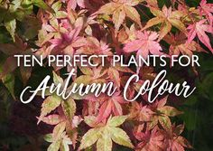 From Cornus to Cyclamen, ten perfect plants for autumn colour and interest in the garden Perfect Plants, English Roses, Infographic, Advice, Gardening, Autumn, Colour, Board, Inspiration