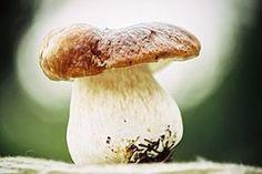 Steinsopp (Boletus edulis)