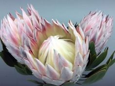 Proteas Flowers Online – International and Local Bulk Export – Intaba Flowers Protea Bouquet, Protea Flower, Love Flowers, Vintage Flowers, Beautiful Flowers, Protea Plant, South African Birds, Flower Art, Art Flowers