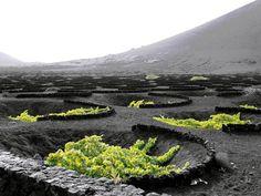 Вулканические виноградники острова Лансароте