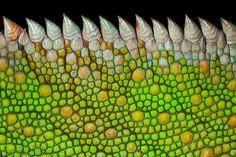 Panther Chameleon Scales detail (Furcifer pardalis)