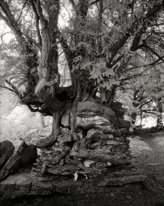 The Most Ancient and Magnificent Trees From Around the World | Devil's Pulpit. Chepstow, Wales, 2004. This tree growing on top of a pillar of rock, must have been covered with soil at some point, but hundreds of years of wind and rain have washed away the earth, challenging this resilient yew to find creative ways to survive.    Beth Moon  | WIRED.com