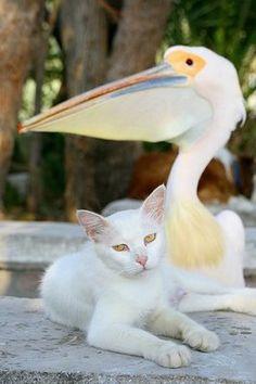 togetherness ~ cat & pelican