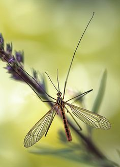 Daddy Long Legs | par Mandy Disher