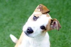 Oakley is an #adoptable Border Collie Dog in #Asheville, #NCAROLINA.  ...