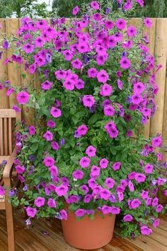 Tickled Pink Petunia: Summer To Fall. Beautiful Rose Flowers, Amazing Flowers, Pink Flowers, Cottage Garden Plants, Pink Garden, My Flower, Flower Pots, Large Plants, Container Flowers