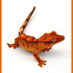 Orange Tiger Flame Crested gecko for sale