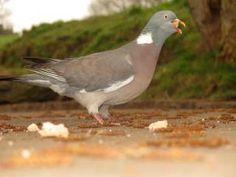 pigeon mouthful