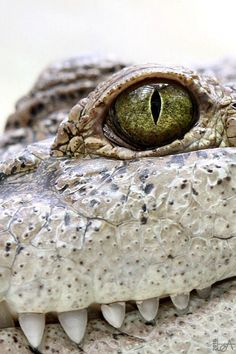 Alligator Up close and personal by Lea
