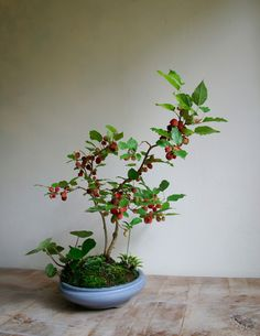 berry bonsai