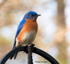 The mythology of the bluebird of happiness has deep roots that go back thousands of years. Indigenous cultures across the globe hold similar myths and beliefs about the bluebird. It is a widely accepted symbol of cheerfulness, happiness, prosperity, hearth and home, good health, new births, the renewal of springtime, etc. Virtually any positive sentiments may be attached to the bluebird.