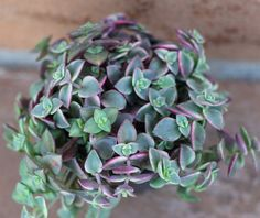 The Crassula Marginalis Rubra is a beautiful succulent with wonderfully colored leaves that are great for hanging planters and pots. They make nice trailing plants.